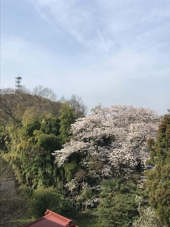 我家の下の大きな桜の木が満開です